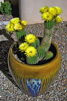 Capturing The Moment — Potted Cactus In Bloom