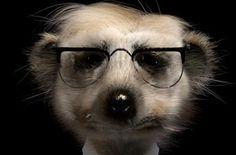 Meerkat [Sergei - Head of IT]