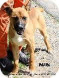 Gone  Rural kill shelter full desperate need for adopters fosters or rescues  most don't make it hete  Madisonville, TN - Shepherd (Unknown Type) Mix. Meet Pearl a Dog for Adoption.
