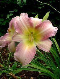 Hemerocallis Catherine Woodbury - d un jour, Hémérocalle - Pépinière, plantes, jardinerie, vente en ligne