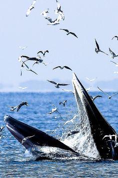 0ce4n-g0d:  Bryde's Whaleby Too Ratana-u-bolon 500px