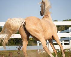 Les postérieurs - Les postérieurs d'un cheval au galop dans un paddock