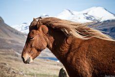 Cool Breeze, Icelandic Horse by skarpi -