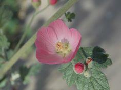 Pale pink Globemallow. Glendale Xeriscape Garden, Glendale, AZ