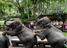 Going to Indonesia?    Explore the jungle at Taro Elephant Safari Park where you can ride one of their giant elephants and enjoy breathtaking nature.