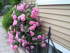 John Davis. Kanadensisk sort. Blommar villigt med täta stora blommor. Höjd: 2 m.