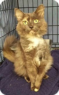 Clarksville, TN - Domestic Mediumhair. Meet Kizzy, a cat for adoption. Kizzy aka Kismet is a Domestic Medium Hair who was born around February of 2015. She was rescued by a good Samaritan who found her in the middle of the street.  Kizzy loves to play! She might do better in a home with older children as she might be impatient with very little ones. She likes dogs and other cats... http://www.adoptapet.com/pet/14404777-clarksville-tennessee-cat