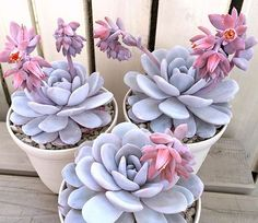 Ugh, even the blooms are chubby #leafandclay #succulents (: @limpopo_v_v_ )