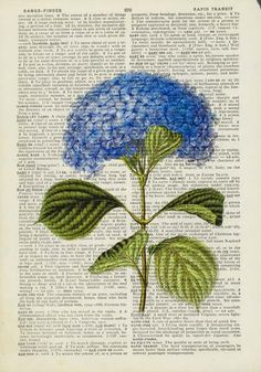 hydrangea  vintage artwork printed on page from old by FauxKiss, $12.00