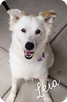 7/13/16 DFW, TX - Samoyed/Anatolian Shepherd Mix. Meet Leia, a dog for adoption. http://www.adoptapet.com/pet/16051621-dfw-texas-samoyed-mix