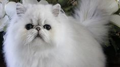 Iran mulls sending a Persian cat into space. Meow!