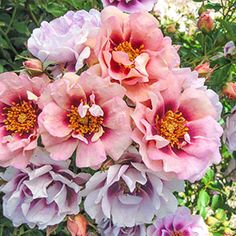 Lovely peachy pink flowers have a cranberry eye zone, and appear in giant clusters of 15 - 20 blooms. Superb disease resistance and a wonderful spicy aroma. Fresh Flowers, Colorful Flowers, Pink Flowers, Shrub Roses, Rose Shop, Garden Shrubs, Garden Pond, Spring Bulbs, Hardy Plants