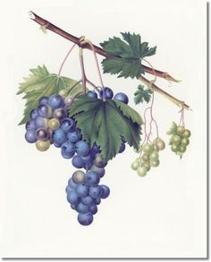 botanical paintings | Giorgio Gallesio - Botanical Paintings Prints and Illustrations by ...
