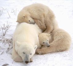 Polar Bear Mother And Cubs (Ursus Maritimus) Near Churchill Manitoba Canvas Art - Rebecca Grambo Design Pics x Animals And Pets, Baby Animals, Funny Animals, Cute Animals, Baby Polar Bears, Wild Creatures, Love Bear, Mundo Animal, Wild Life