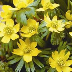 Winter aconite - apparently can take over quite well