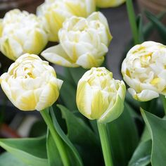 Tulip 'Flaming Evita' - a must! #clausdalby #blomster #flowers #garden #spring