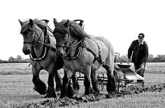 They might be plowing here, but clean them up & they'd look great before a carriage or sleigh. Big Horses, Work Horses, Show Horses, Farm With Animals, Clydesdale Horses, Breyer Horses, Shire Horse, Barrel Racing Horses, Horse Posters