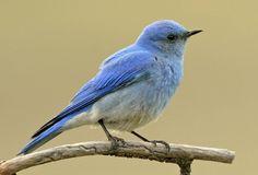 Mountain Bluebird - Azulejo de las montañas (Sialia currucoides)
