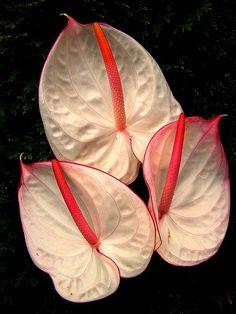 Anthurium- symbolizes hospitality...tattoo bouquet