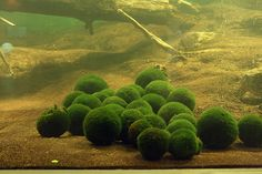 "The bottom of Lake Akan in Hokkaido Japan is inhabited by miraculously spherical rare algae called ""marimo."" In 1921 they were declared a ""Japanese Natural Treasure."""