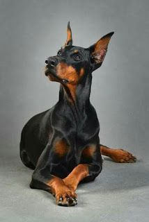 Doberman Pinscher Dog Image By Marsha Kloog On Things I Love