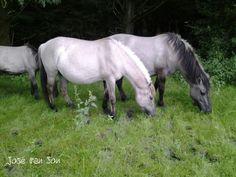 Konik horses / de Stille Kern / Zeewolde-Flevopolder / The Netherlands