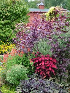 'Oxblood' coleus (Solenostemon scutellarioides) with 'Sweet Caroline Purple' sweet potato vine, 'Lady in Red' Texas sage, and 'Red Shield' hibiscus (Hibiscus acetosella).