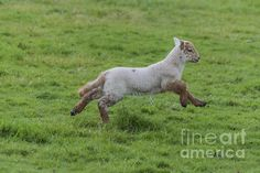 Playful little #lamb by Steve Purnell Photography #animalphotos #homedecor