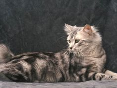 The American Bobtail cat may not be a great climber, but the American Bobtail certainly has many awesome traits which make up for the poor climbing skills. American Wirehair, American Bobtail Cat, American Curl, Highlander Cat, Cat Has Fleas, All Cat Breeds, Balinese Cat, Cat Diseases, Ocicat