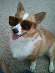 40 Things That Make Corgis Happy. These are the funniest things ever. Gonna do this to my future corgi :)