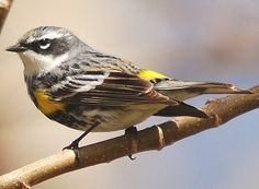 Yellow-Rumped Warbler: Yellow-Rumped Warbler - Myrtle