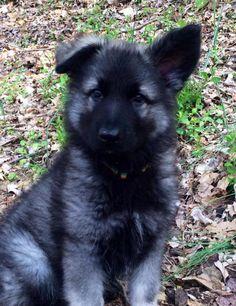 Meet Gryphon! (Shiloh Shepherd) - German Shepherd Dog Forums