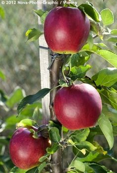 Apple Tree 'Suncats' Malus domestica - Columnar apple trees are the answer for gardeners with smaller yards. Height is 8' at maturity and only 2' wide. Cold hardy to Zone 5.