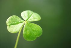 """The ancient Irish Celts also revered the shamrock because it has three leaves, and they considered """"3″ to be a sacred number. The ancient Celtic Druids believed many numbers held mystical powers. The three leaves shaped like hearts were associated with the Triple Goddess of Celtic mythology, otherwise known as the """"Three Morgans"""". The Triple Goddess represented the Triple Mothers, the hearts of the ancient Celtic tribes, while the Catholic Church saw the Holy Trinity."""
