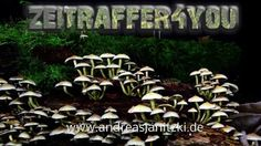 Rauchblättrige Schwefelkopf Hypholoma capnoides conifer tuft Timelapse Z...