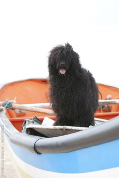 Portuguese Water Dogs.