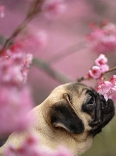 Pug stopped to smell the flowers! Too cute!