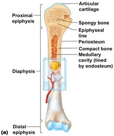 Anatomy of knee joint labeled knee joint anatomy labeled diagram image result for proximal epiphysis ccuart Choice Image