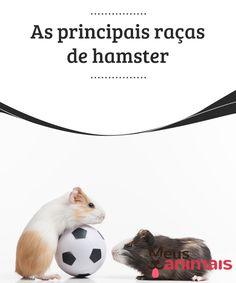 As principais raças de hamster  Juntamente com cães e #gatos, os hamsters são animais de estimação muito populares e tendem a entrar nas #casas com mais facilidade que um cachorro ou um gato, já que requerem menos esforço e #responsabilidades, além de serem ideais para que as #crianças cuidem e comecem a adquirir pequenas responsabilidades. #CURIOSIDADES