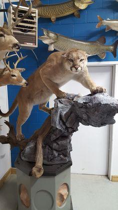 Mountain Lion done by Nature's Art Wildlife Studio, Doug Barnes Bobcat Mounts, Bear Mounts, Buffalo Pictures, Taxidermy Display, Deer Decor, Trophy Rooms, Drawing Studies, Deer Skulls, Mountain Lion