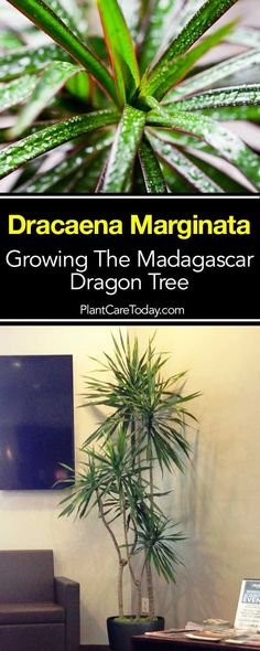 Dracaena Marginata Care: Growing The Red Edged Madagascar Dragon Tree - House Plants