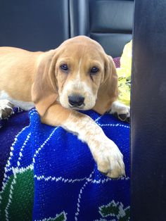 Red Tick Hound Puppy