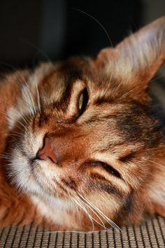 Somali#cat#kat# Moos nu 7 maanden oud