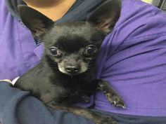 SIMBA - #A1062039 - Urgent Manhattan - MALE BLACK CHIHUAHUA SH MIX, 7 Yrs - OWNER SUR - EVALUATE, NO HOLD Reason CHILDCONFL Intake 01/02/16 Due Out 01/05/16