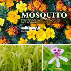 Mosquito Repelling Plants - By Rob Sproule, Salisbury Greenhouse #Mosqutio #Plants #Repel #Garden
