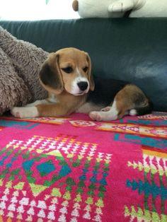 Beagle Raku Chan #beagle Raku Chan.