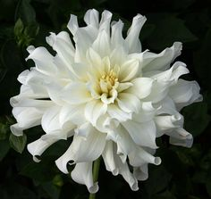 """Dahlia - """"Aspen"""" cultivar.jpg"""