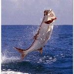 Tarpon ...no better fishin' than a top water live mullet and to see this jump outta the water eating it!!!