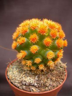 Cactus de colores M-5.5 NARANJA
