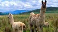 - Alpacas and Llamas Wallpaper - Fanpop Images Lama, Llama Images, Llama Pictures, Animal Pictures, Alpacas, Llama Peruana, Ecuador, Baby Animals, Cute Animals